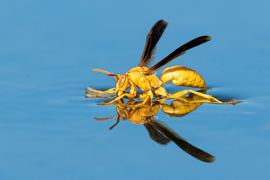 Yellow Water Bug