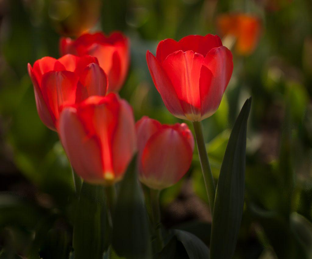 Irene Aldrete - Tulips